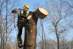 когда желательно спиливать деревья